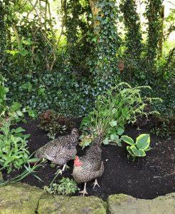Gardening free-range: Chickens 8